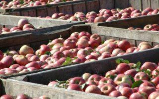 Čuvanje jabuka nakon berbe