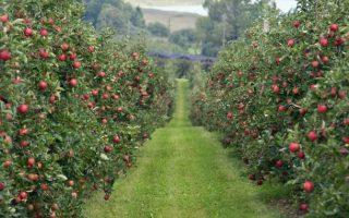 Tretiranje zasada jabuke